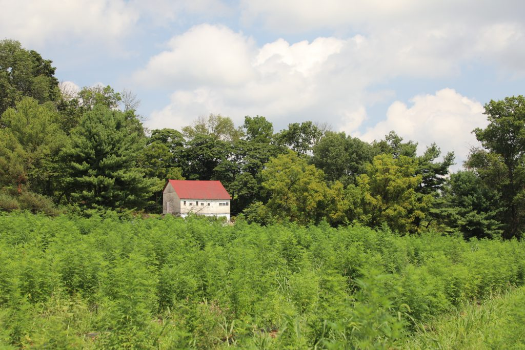 hemp field with barn